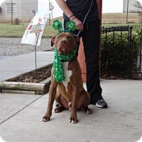 American Pit Bull Terrier Mix Dog for adoption in Dublin, Virginia - O'Reilley
