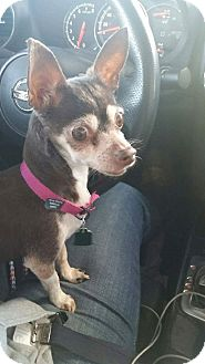 Chihuahua Mix Dog for adoption in Bucks County, Pennsylvania - Coco
