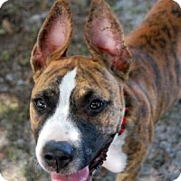 Adopt A Pet :: Chilli - Bradenton, FL