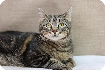 Domestic Shorthair Cat for adoption in Midland, Michigan - Mummas - $10!