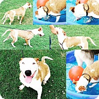 Bull Terrier/Jack Russell Terrier Mix Dog for adoption in Ada, Oklahoma - RAPUNZEL