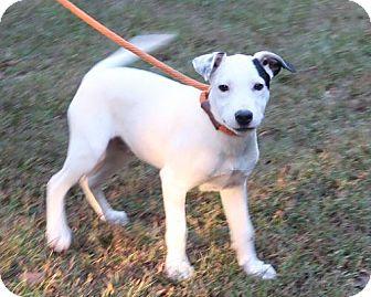 American Bulldog/Labrador Retriever Mix Puppy for adoption in New City, New York - Sander