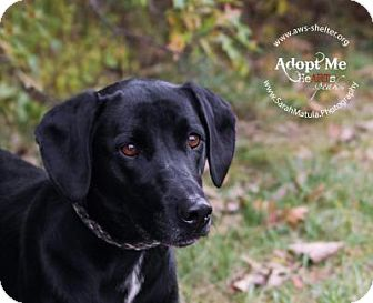 Labrador Retriever/Basset Hound Mix Dog for adoption in New Milford, Connecticut - Suzanne