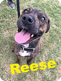 Boxer/American Pit Bull Terrier Mix Dog for adoption in Cantonment, Florida - Reese