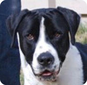 Labrador Retriever Mix Dog for adoption in Portola, California - Duke