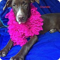 Adopt A Pet :: Charlotte meet me 10/28 - Manchester, CT