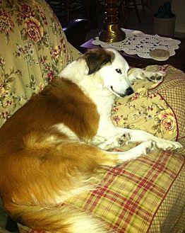 Collie Dog for adoption in San Antonio, Texas - Delightful Daisy