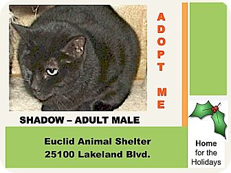 Domestic Shorthair Cat for adoption in Euclid, Ohio - Shadow