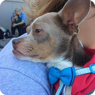 Chihuahua Dog for adoption in Sanford, Florida - Larry
