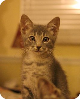Domestic Shorthair Kitten for adoption in Carlisle, Pennsylvania - Parker