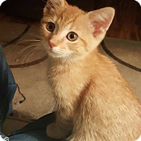 Manx Kitten for adoption in South Bend, Indiana - Maggie