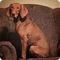 Adopt A Pet :: Paprika - Denton, TX