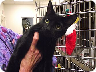 Domestic Shorthair Cat for adoption in Chambersburg, Pennsylvania - Courtney
