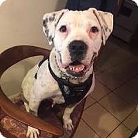 American Bulldog/Boxer Mix Dog for adoption in Manhattan, New York - Sassy
