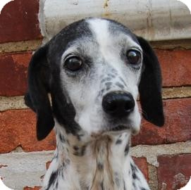 Dalmatian Mix Dog for adoption in Brooklyn, New York - Sprinkles