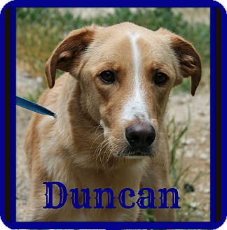 Golden Retriever/Whippet Mix Dog for adoption in Everman, Texas - Duncan