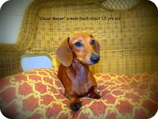 Dachshund Dog for adoption in Gadsden, Alabama - Oscar Meyer