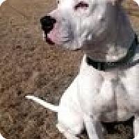 American Bulldog Mix Dog for adoption in Garland, Texas - Kimbo