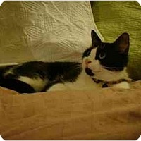 Adopt A Pet :: Shayla - Manalapan, NJ