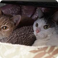 Adopt A Pet :: Cherry & Kitty 'Happiness X2' - Mt Vernon, NY