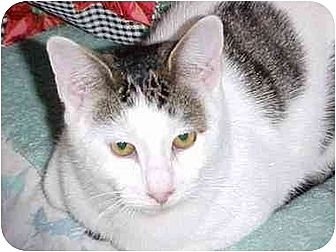 Domestic Shorthair Cat for adoption in Quincy, Massachusetts - Fritzy