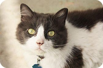 Domestic Longhair Cat for adoption in Angola, Indiana - Stella