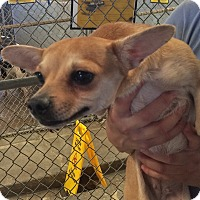 Chihuahua/Dachshund Mix Dog for adoption in El Centro, California - Toast