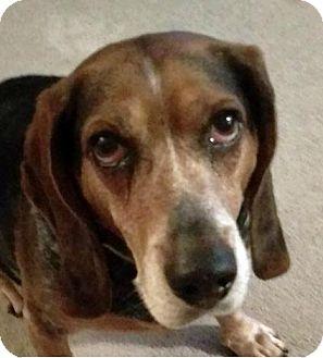 Basset Hound/Beagle Mix Dog for adoption in Fort Lauderdale, Florida - Hunter