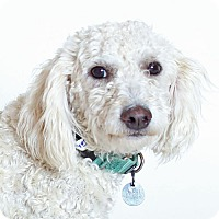 Adopt A Pet :: Johnny Castle - Walnut Creek, CA
