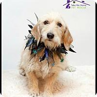 Adopt A Pet :: Blondie - Richardson, TX