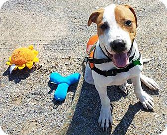 Boxer/English Springer Spaniel Mix Puppy for adoption in Brattleboro, Vermont - SPENCER