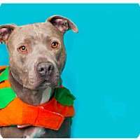 Adopt A Pet :: Shiraz - Los Angeles, CA