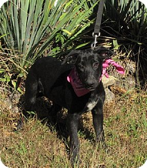 Terrier (Unknown Type, Medium)/Shepherd (Unknown Type) Mix Puppy for adoption in Oakland, Arkansas - Shadow