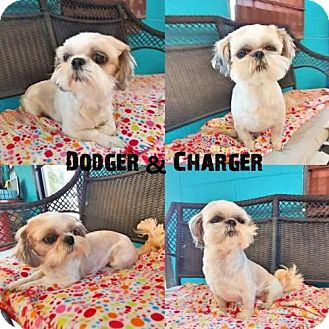 Shih Tzu Dog for adoption in Ponca City, Oklahoma - Charger