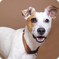 Adopt A Pet :: Spuds - Sudbury, MA