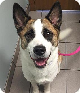 Cattle Dog/Canaan Dog Mix Dog for adoption in Omaha, Nebraska - Kahlua