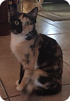 Calico Cat for adoption in Ardsley, New York - Cleopatra