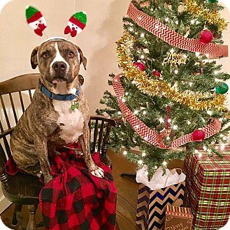 Boxer/Pit Bull Terrier Mix Dog for adoption in Calgary, Alberta - Carter