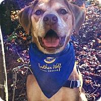 Labrador Retriever Mix Dog for adoption in Asheville, North Carolina - Jackson
