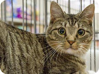Domestic Shorthair Cat for adoption in Millersville, Maryland - Eggo