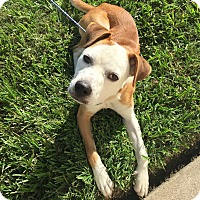 Boxer/American Staffordshire Terrier Mix Dog for adoption in Arlington, Washington - Petey