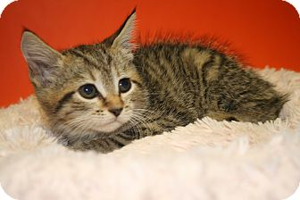Domestic Shorthair Kitten for adoption in SILVER SPRING, Maryland - PAOLA