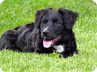 Flat Coated Retriever Cross Reese | Adopted Puppy ...