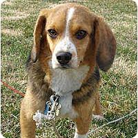 Adopt A Pet :: Latte - Novi, MI
