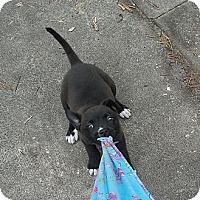 Adopt A Pet :: Beanie - Ormond Beach, FL