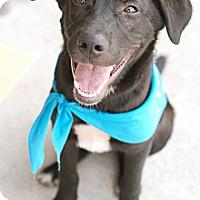 Adopt A Pet :: Eeyore - Knoxville, TN