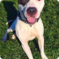 Adopt A Pet :: JETT - New Cumberland, WV