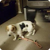 Adopt A Pet :: Pee Wee - East McKeesport, PA