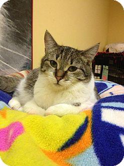 Domestic Shorthair Cat for adoption in Blasdell, New York - Jethro