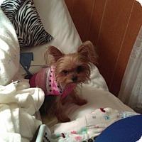 Adopt A Pet :: MINNI ~ REALLY TEENIE! - WOODSFIELD, OH